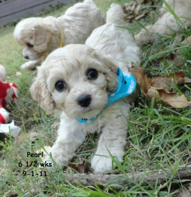 Past Cockapoo Puppies